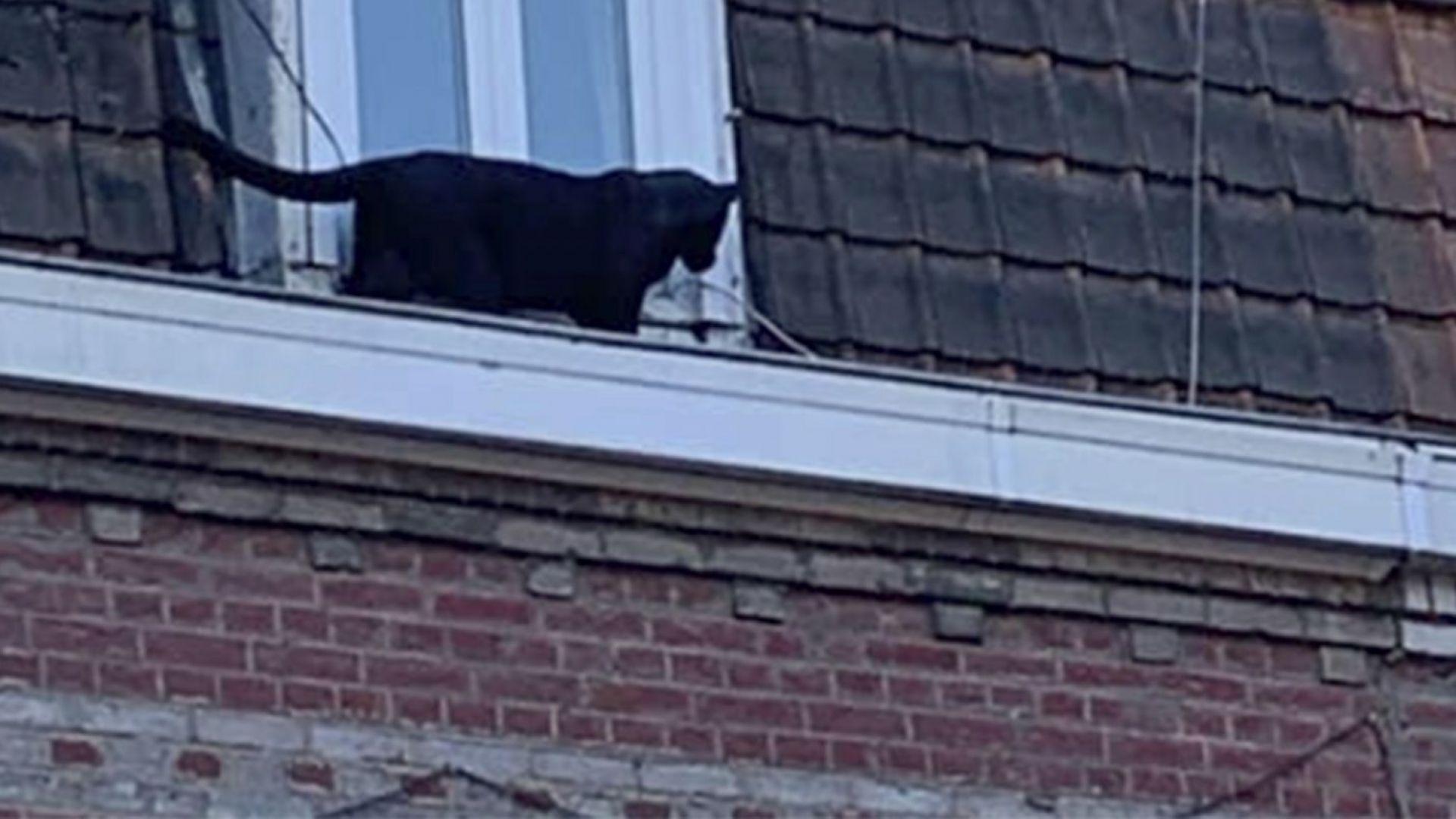 Черна пантера, разхождаща се по покриви на къщи, предизвика паника
