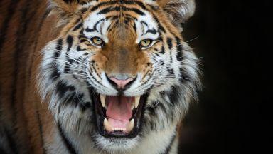 Фотограф засне черен тигър в Индия
