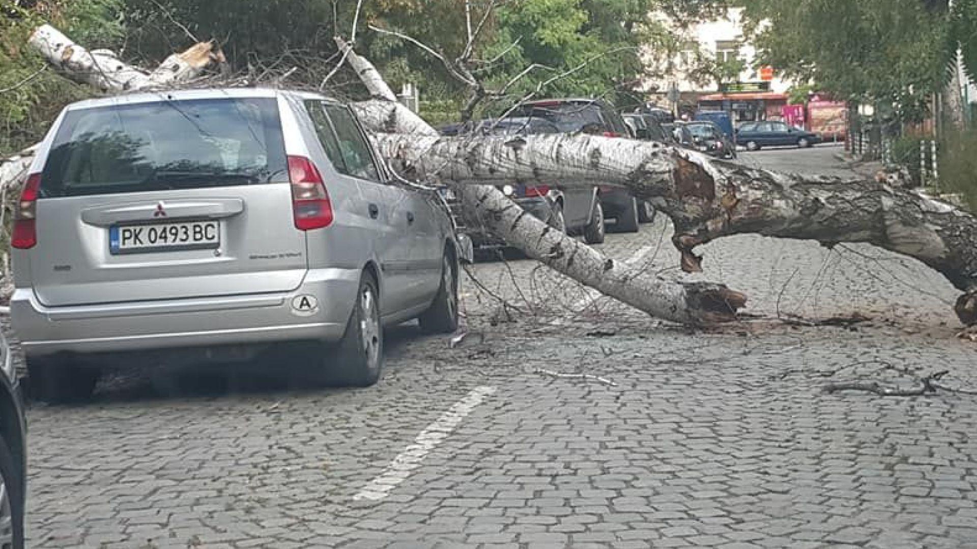 Дърво рухна и смачка паркирана кола в центъра на София (снимки)