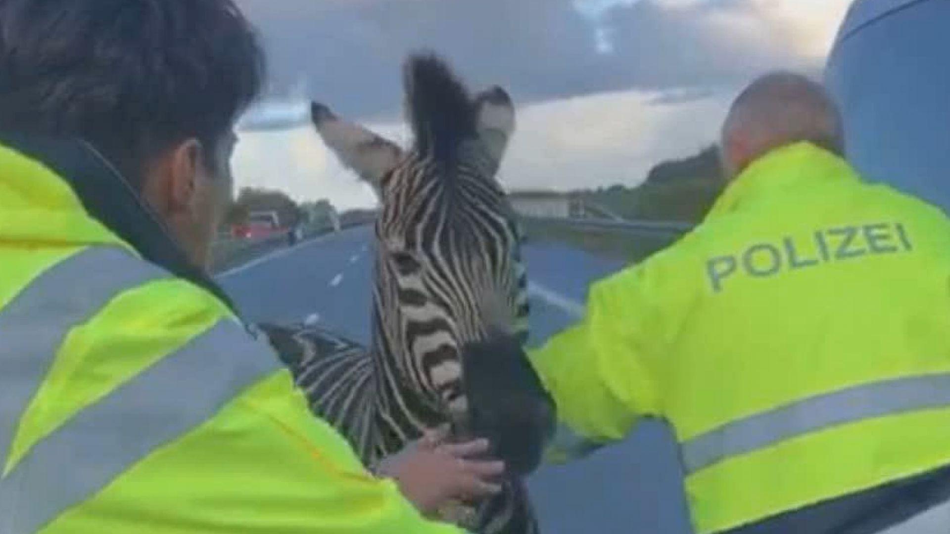 Две зебри избягаха от германски цирк, застреляха едната след катастрофа на магистрала (снимки)