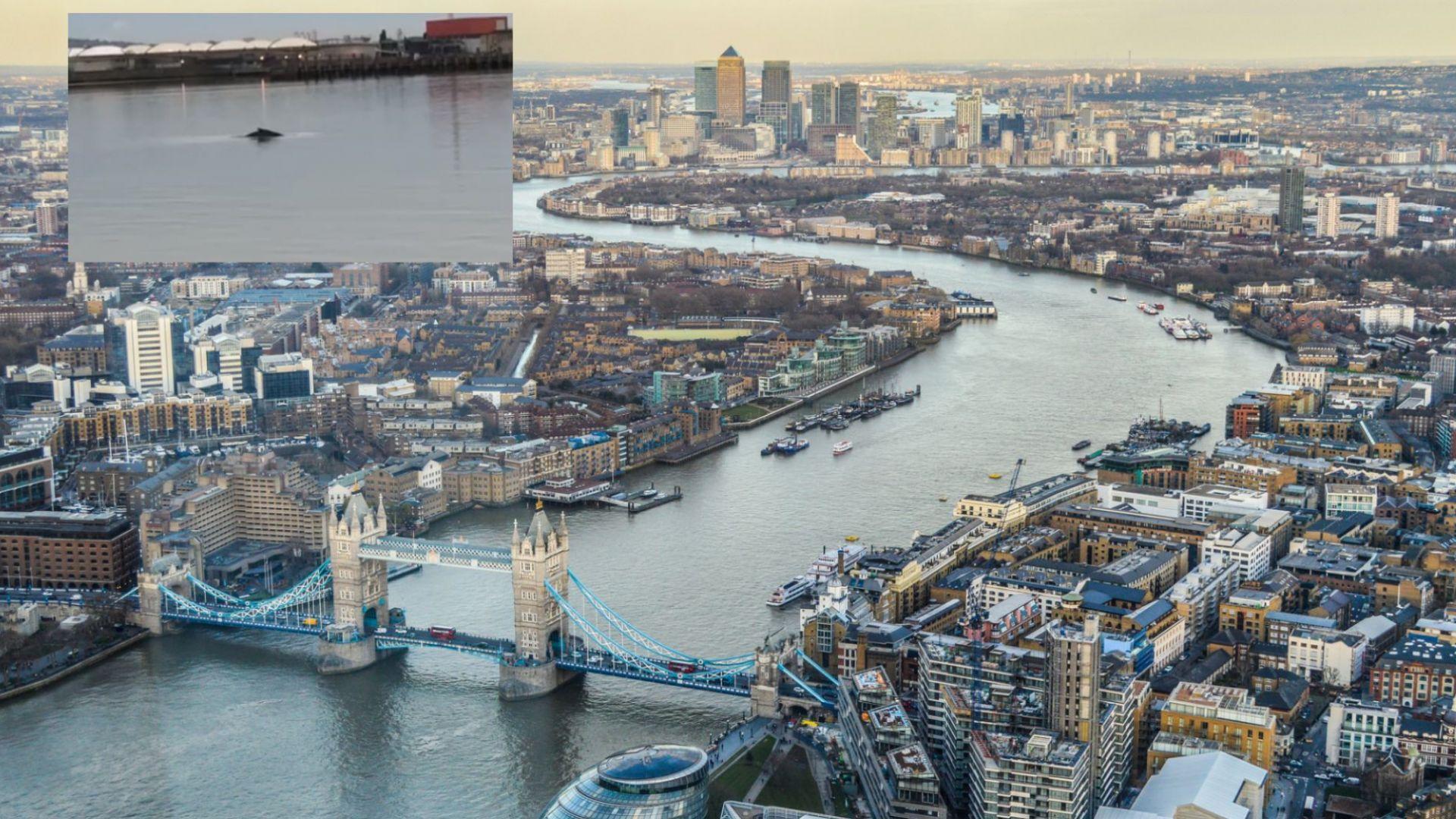 Гърбат кит е забелязан в река Темза край Лондон (видео)