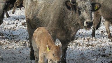 Учени успяха да модифицират ДНК на бикове, за да не им растат рога