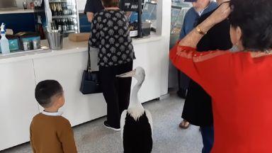 Пеликан влиза в ресторант и чака да бъде обслужен (видео)
