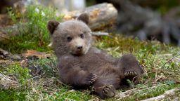 Заради топлото време, мечките страдат от безсъние