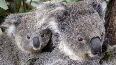 Стресът е причина за постоянното намаляване на популациите на коали