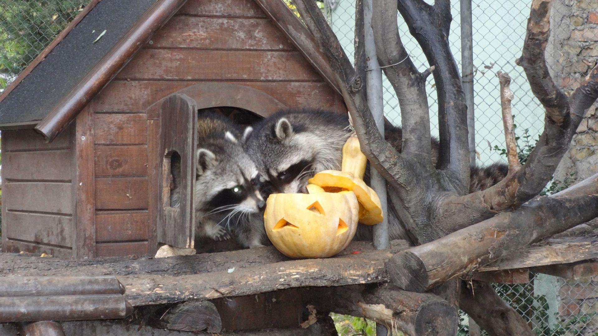 Хелоуински тикви с лакомства за обитателите в зоопарка (снимки)