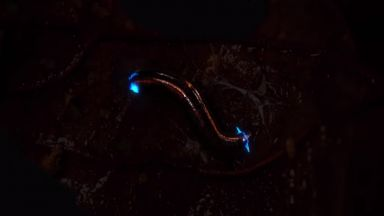 Нов вид насекоми излъчват синя светлина