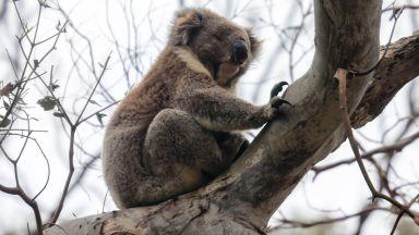 Половината от коалите в резервата в Нов Южен Уелс са загинали от горските пожари