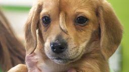 Кученце се роди с опашка на челото (видео)