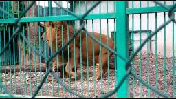 Разследват проявена жестокост към лъва Любо в зоокъта в Разград