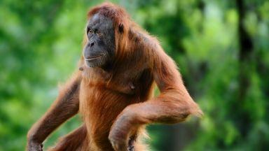 Два пъти по-високи от човека маймуни са живели на Земята преди 2 млн. години