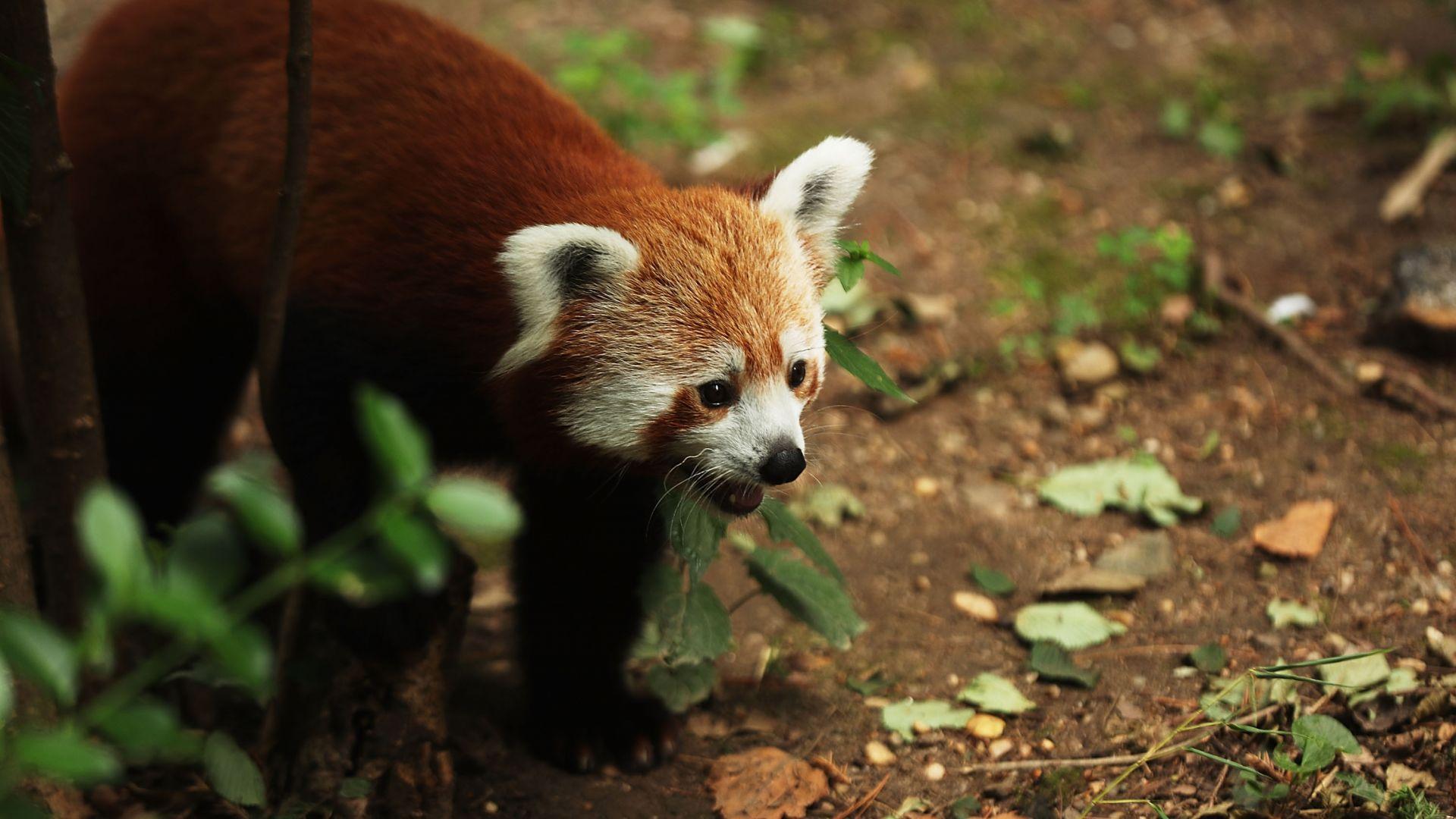 Червена панда избяга от зоопарк във Франция