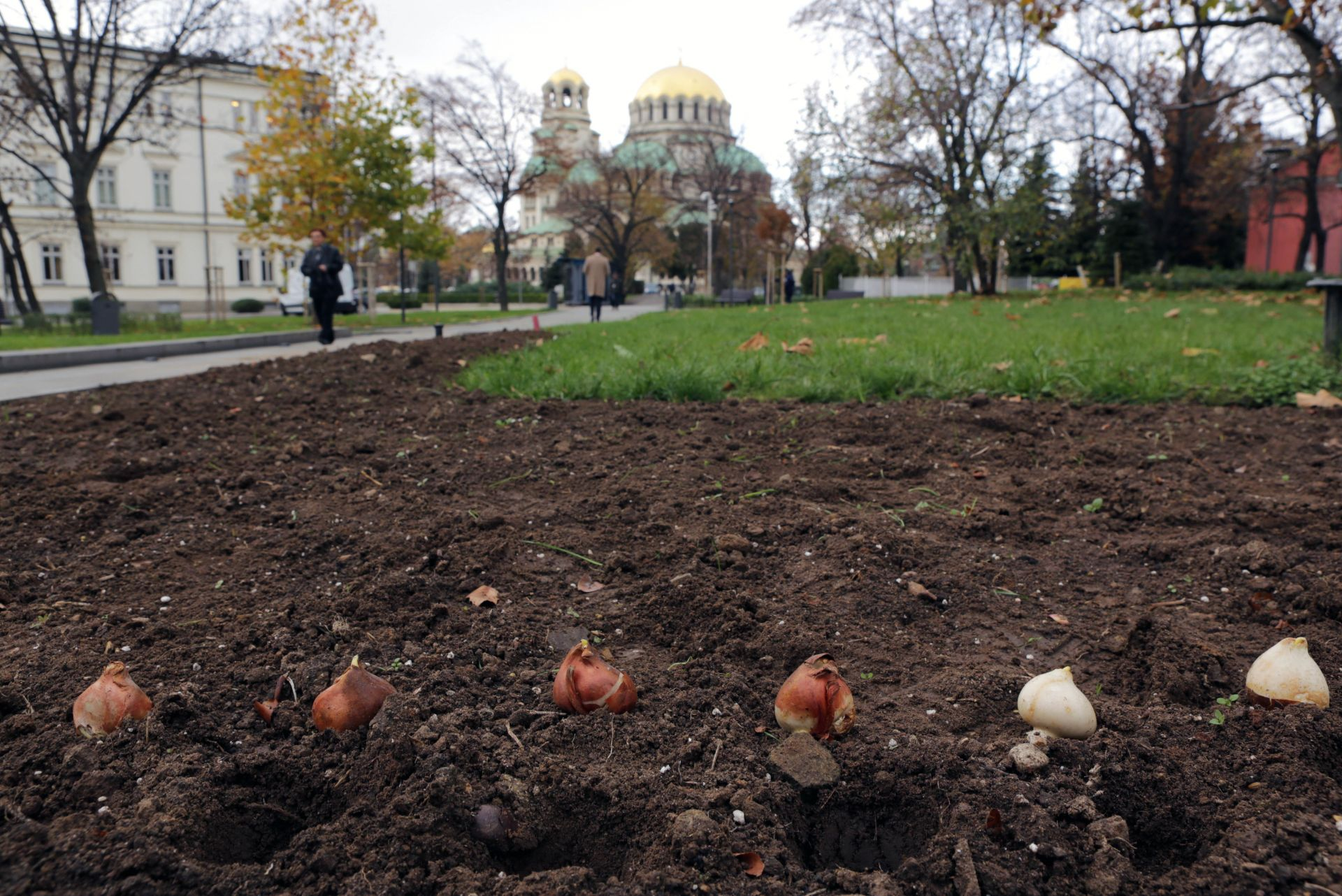 Засазиха холавски лалета в цветовете на българското знаме в градинката при СУ