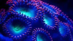 В Големия бариерен риф е регистрирано рекордно избелване  на корали