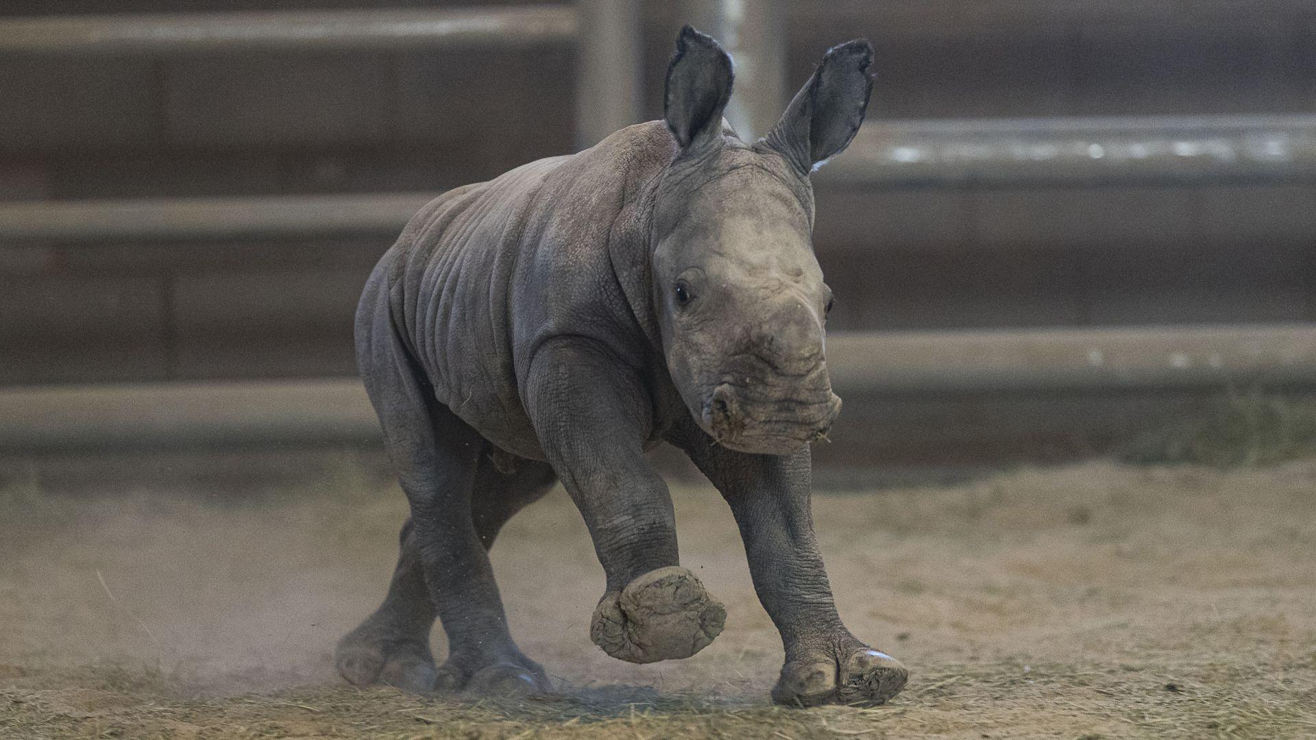 Отрязаха роговете на десетки носорози, за да ги предпазят от бракониери