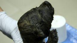 Тяло на кученце на 18 000 г. откриха в сибирския вечен лед (снимки+видео)