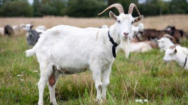 Винсент ван Гоут и Селена Гоутмес - козите спасителки и други истории с животни за 2019