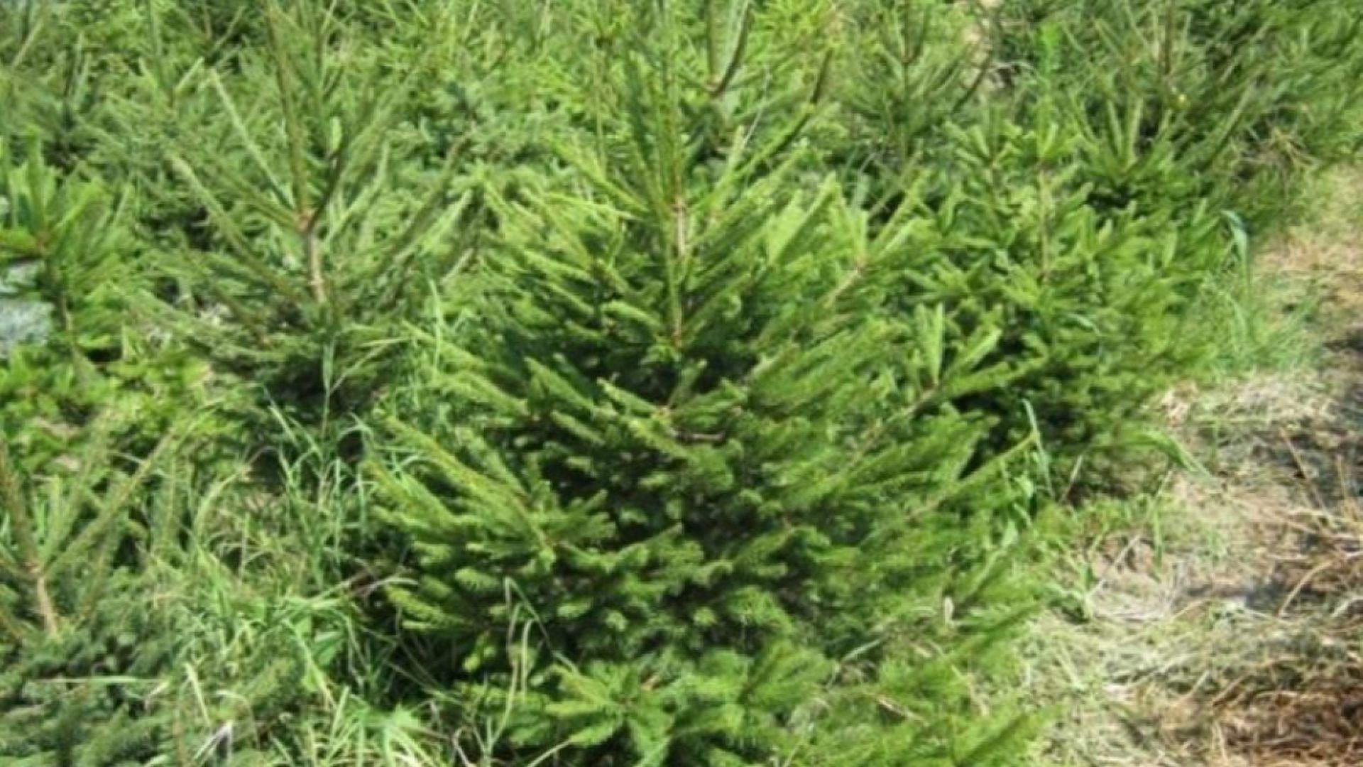 Снимка: Откриха 310 коледни елхи без контролни пластини на пазари в София