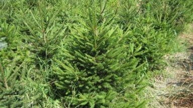 Откриха 310 коледни елхи без контролни пластини на пазари в София