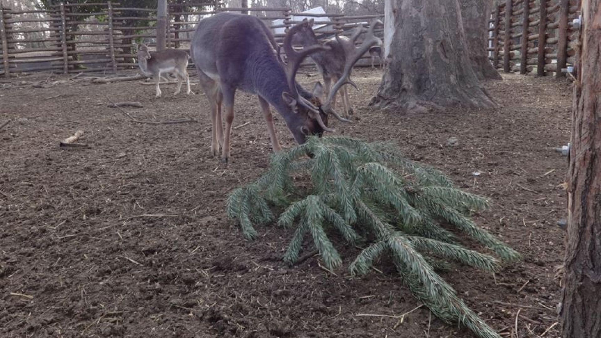 Варненци, не хвърляйте елхите си - дарете ги на зоопарка
