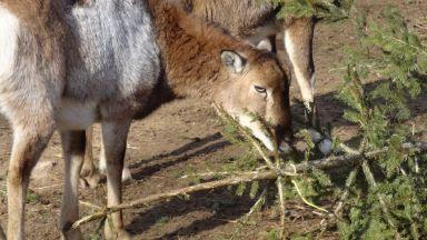 Варненци даряват коледните си елхи на зоопарка (снимки)