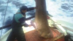 Уловиха гигантска акула в Егейско море