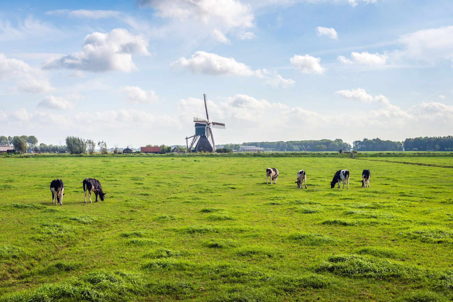 Типичен ландшафт на холандския полдер с паша на крави на поляната