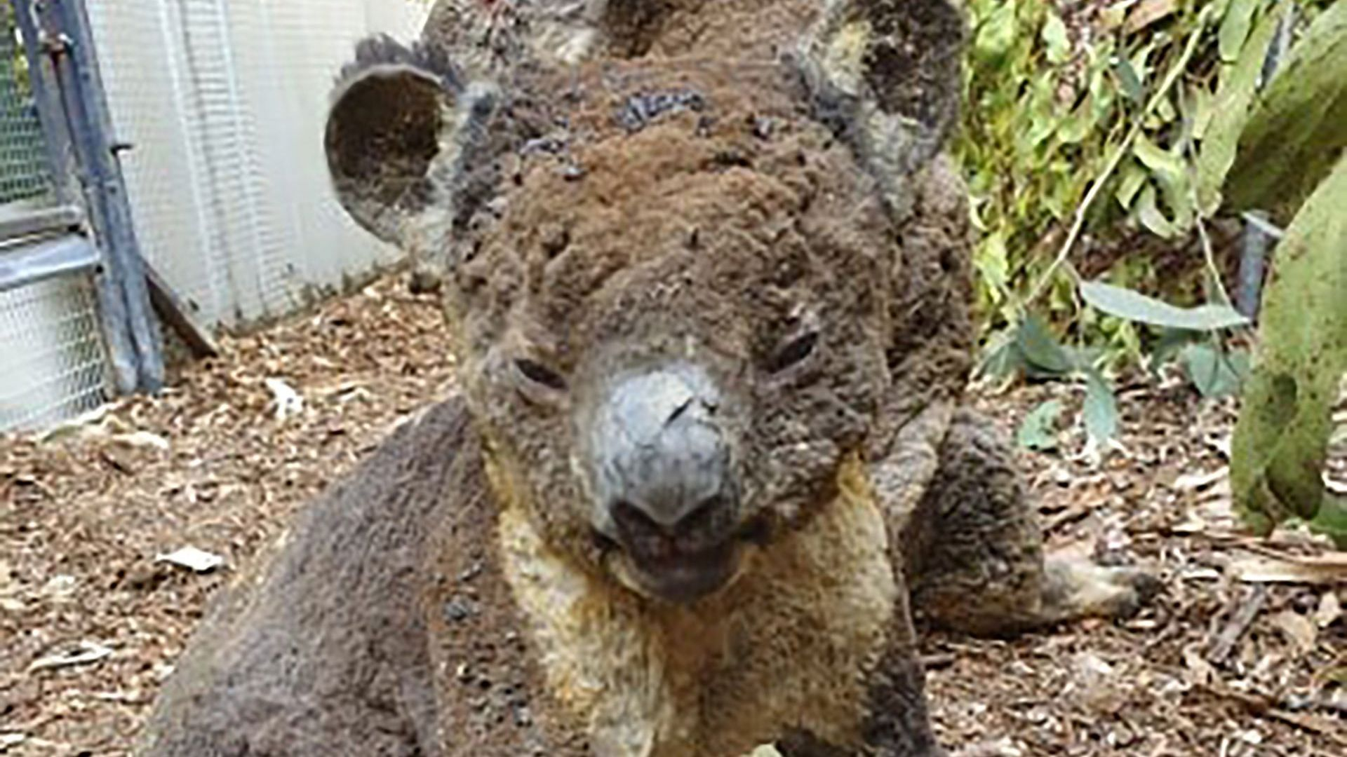 Хиляди новозеландци искат страната да приеме коали от Австралия заради пожарите