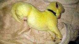 Роди се зелено куче, кръстиха го Хълк (видео)