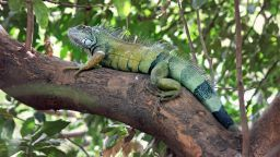 Метеорологична служба предупреди за падащи от дърветата игуани във Флорида