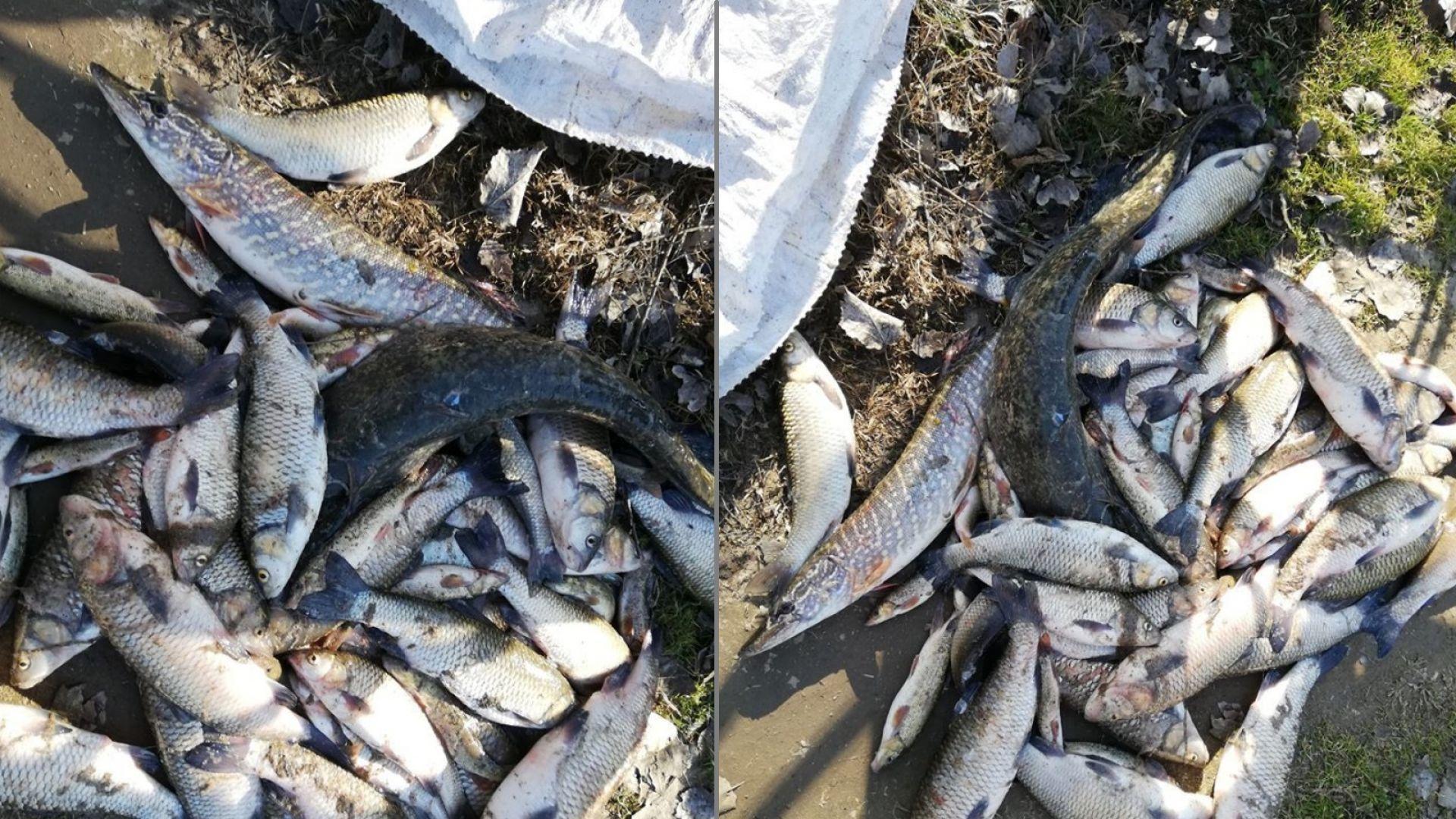 Голямо количество мъртва риба изплува от река Марица