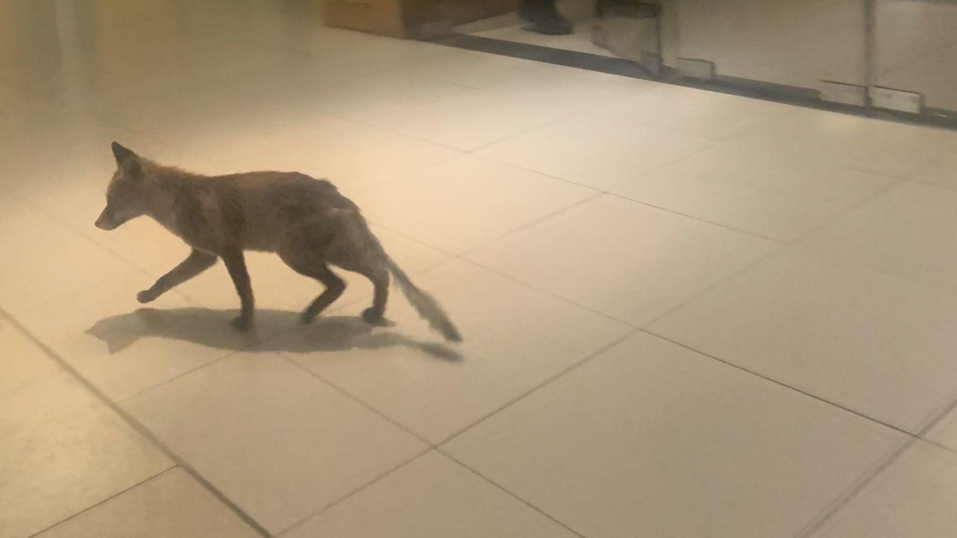 Лисица влезе в сградата на британските депутати (снимки и видео)
