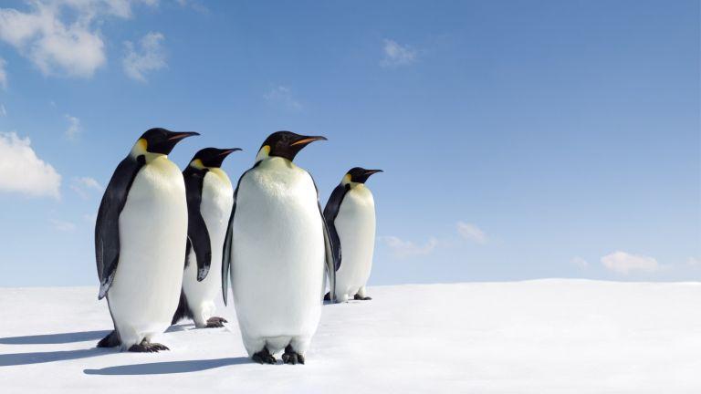 Топенето на леда ще застраши  98 % от колониите  на императорски пингвини