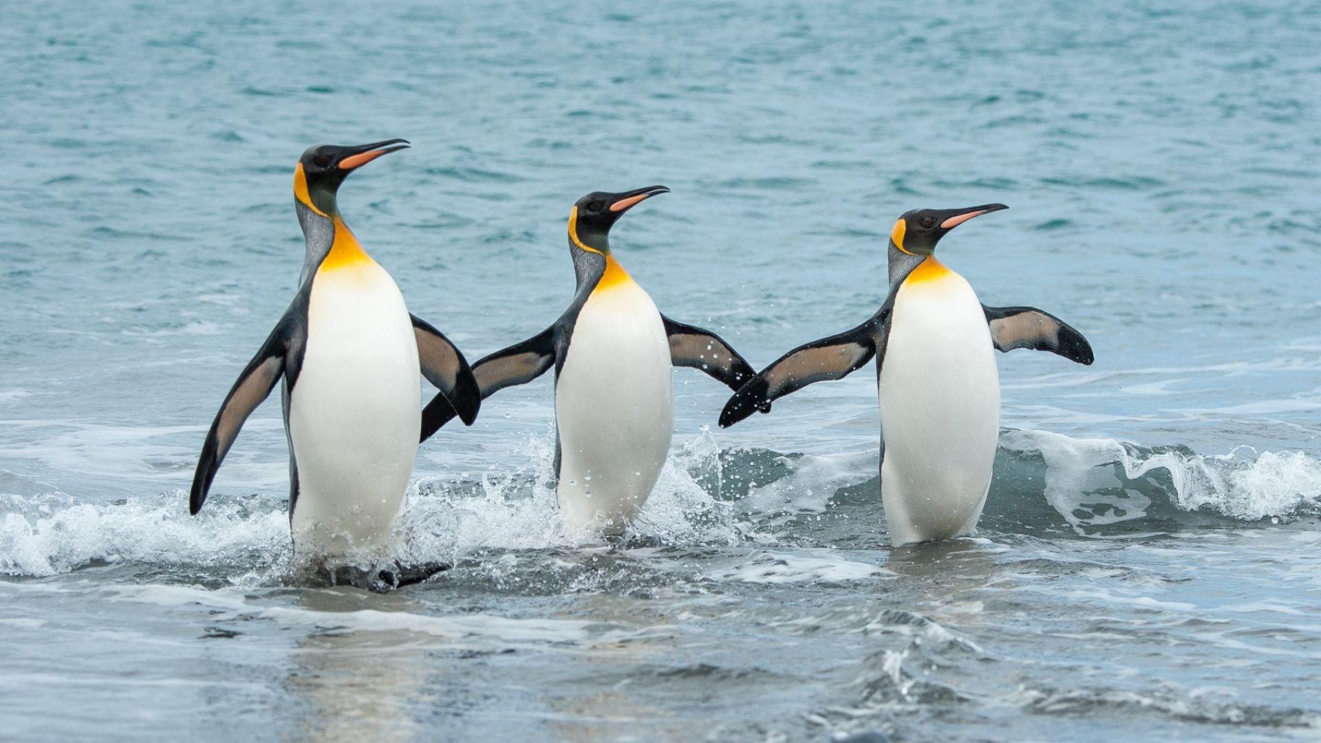 Субантарктическите  пингвини са четири вида,  а не само един
