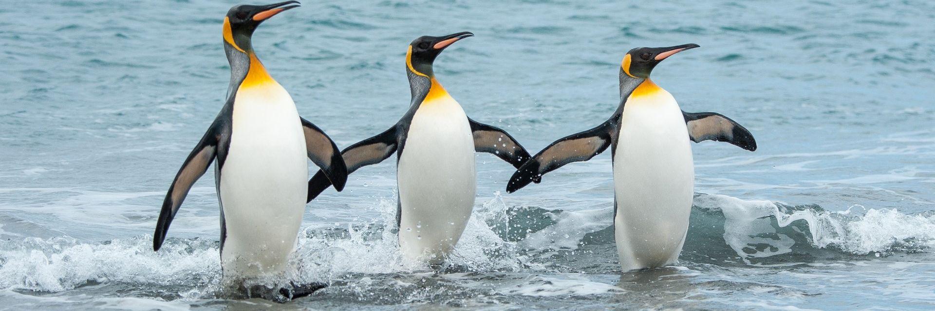 Антарктическите пингвини  печелят от глобалното  затопляне