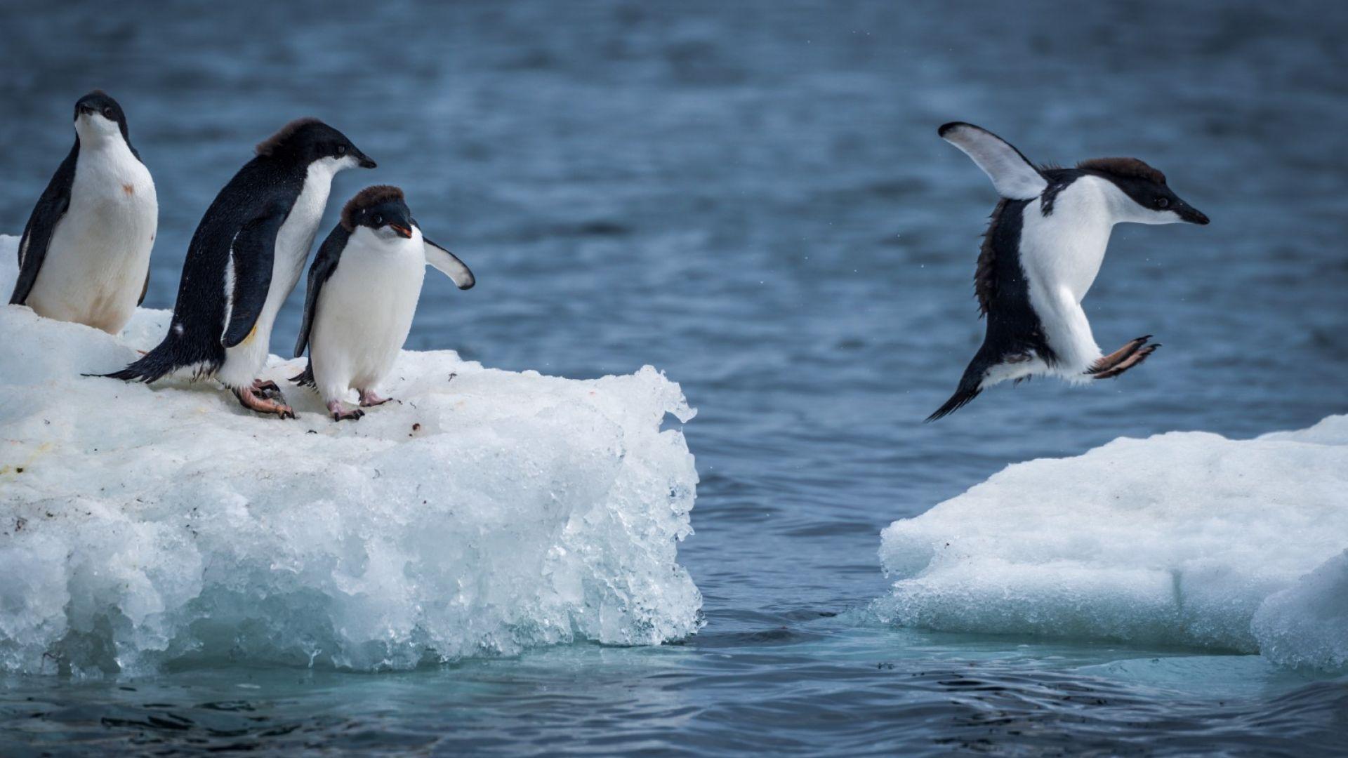 Броят на антарктическите пингвини е намалял рязко
