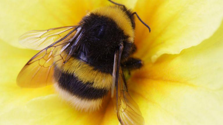 Земните пчели са на път да изчезнат завинаги