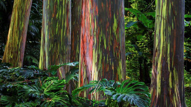 Тези екзотични дървета сякаш са от Страната на чудесата
