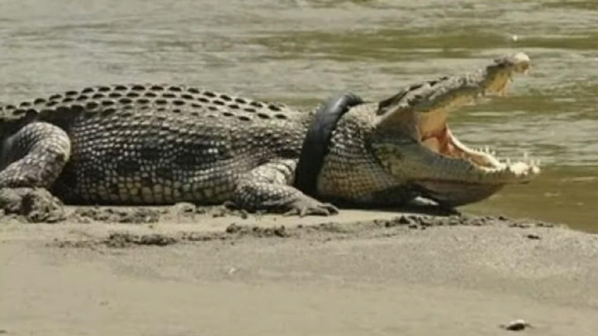 """""""Каубоят с хеликоптер"""" Мат Райт не успя да освободи индонезийския крокодил с гума на врата"""