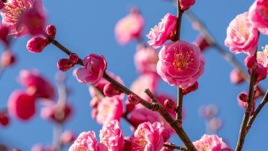 След вируса - пролетни цветове превземат Китай (галерия)