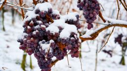 Топлата зима остави германците без ледено вино