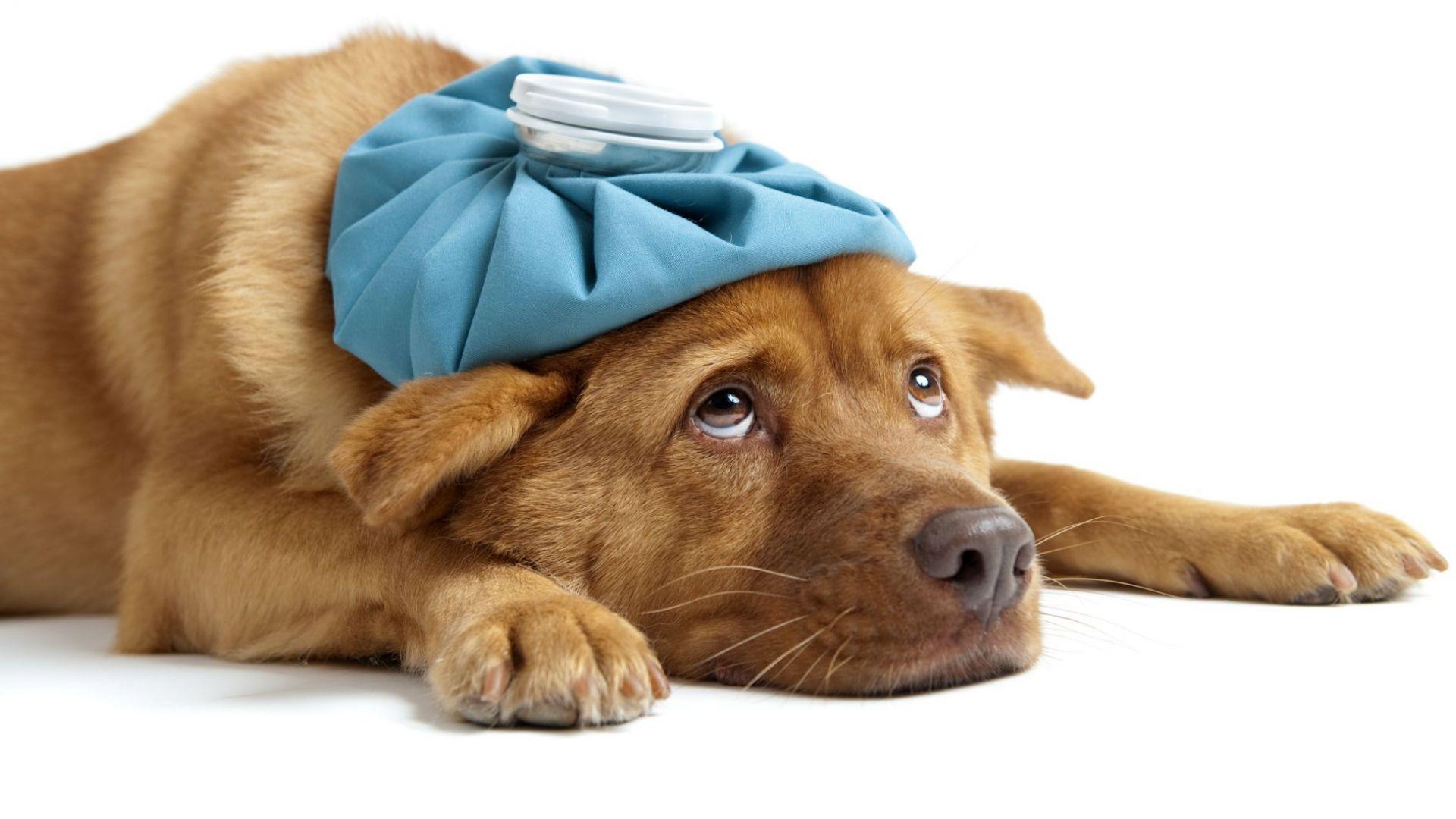 Кучетата могат да се заразят с коронавирус