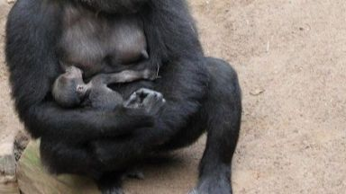 Горила се роди за пръв път в зоопарка в Рощок (видео)