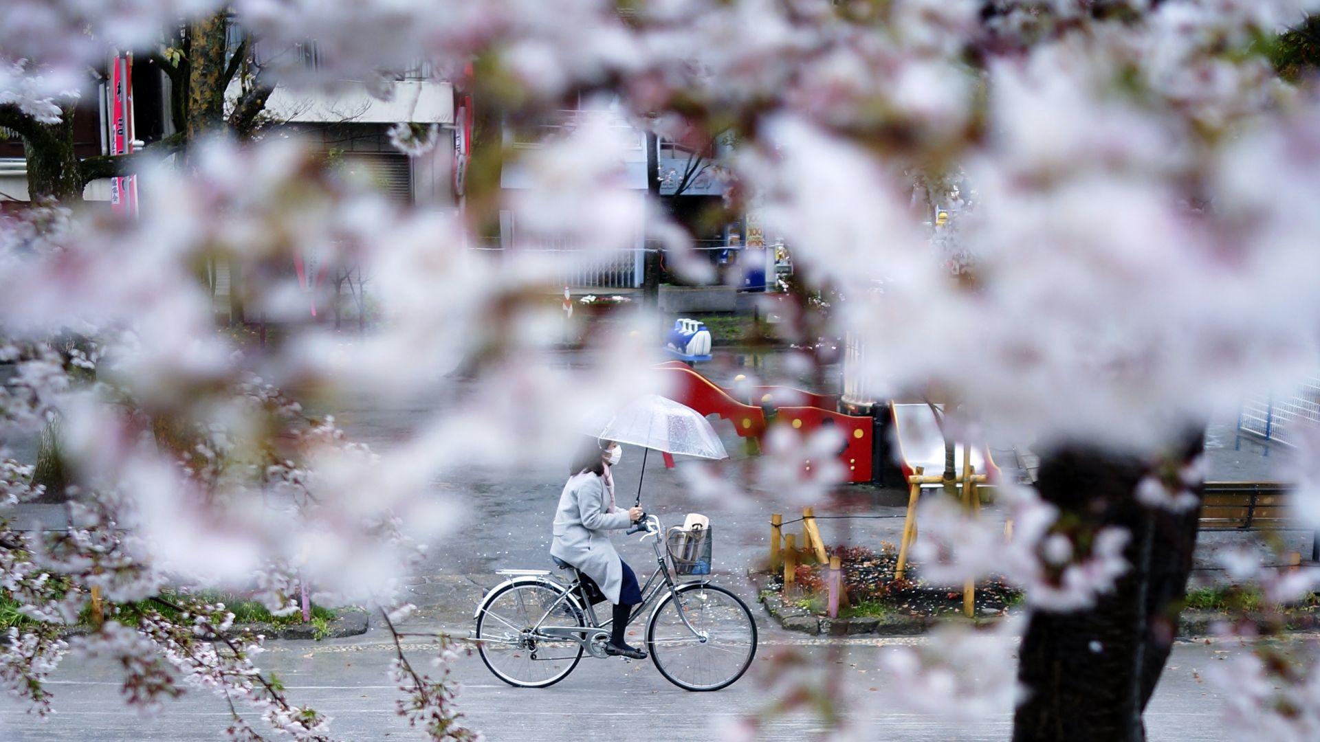 В сезона на цъфналите вишни древната японска столица Нара с