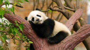 Китайците подаряват мечето панда в знак на приятелство