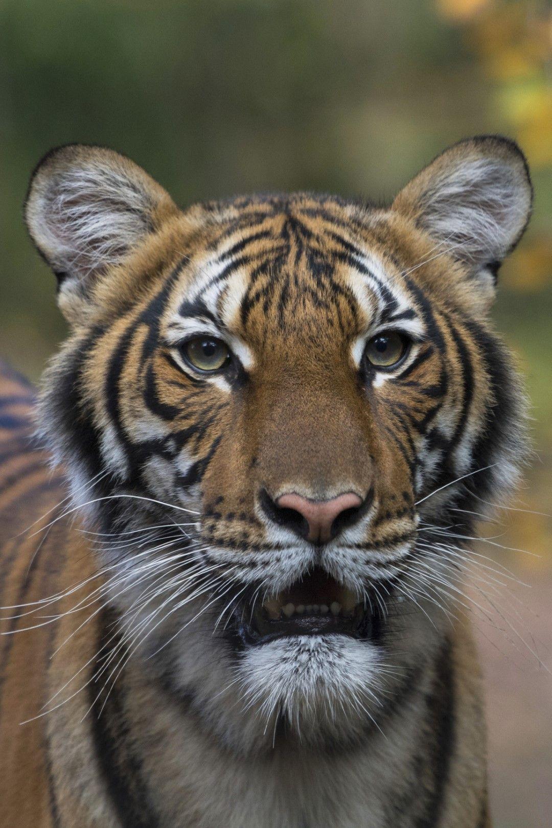 Тигрицата Надя от зологическата градина в Бронкс, Ню Йорк, е заразена с новия коронавирус