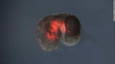 Създадоха живи роботи от клетки на жаба