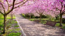 Черешовите дървета могат да компенсират парниковите емисии