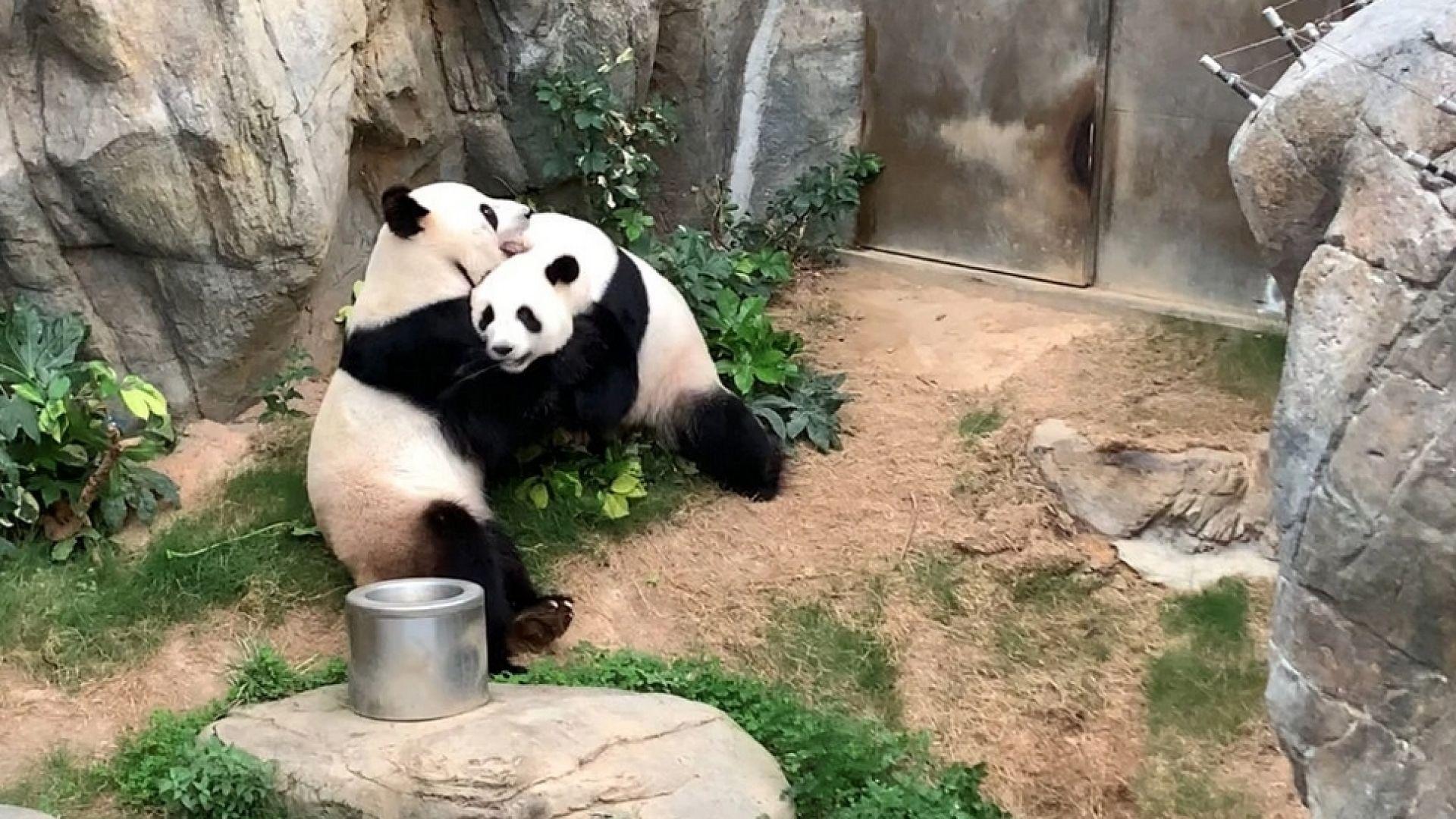 Панди правиха секс за първи път от 10 години