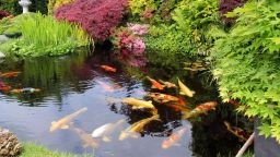 Риби като излезли под четката на художник, плуват в градските канали на Шимабара
